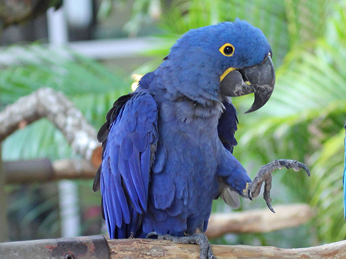 The World's Top Ten Most Expensive Birds Hyacinth Macaw WorldBirder