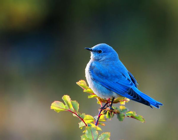 The World's Top Ten Most Expensive Birds Mountain Bluebird WorldBirder