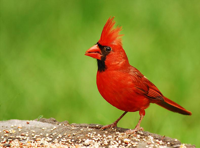 The World's Top Ten Most Expensive Birds North Cardinal WorldBirder
