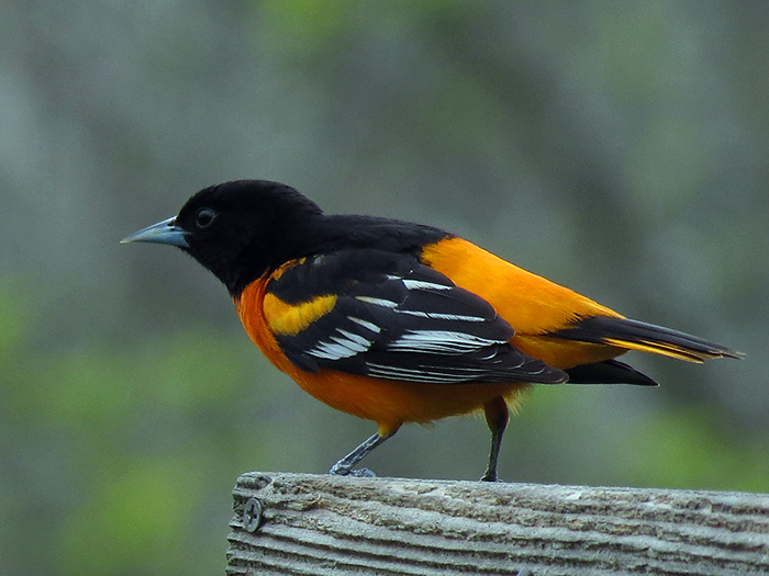 The World's Top Ten Most Expensive Birds Northern Oriole WorldBirder