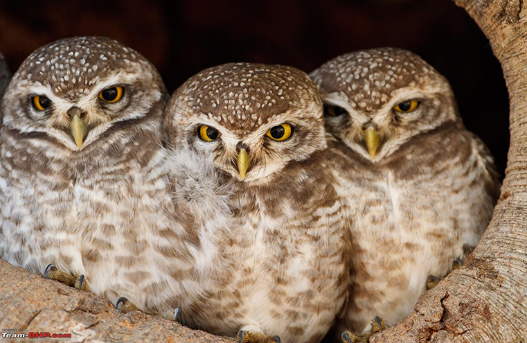 Top 10 Most Extraordinary & Endangered Birds Across the Globe The Forest Owlet WorldBirder