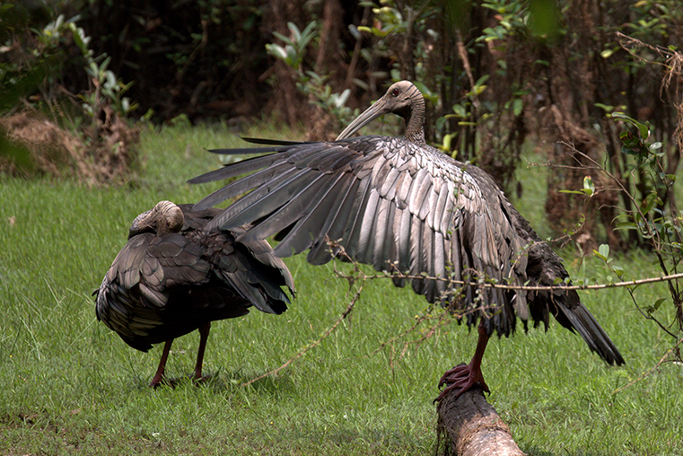 Top 10 Most Extraordinary & Endangered Birds Across the Globe The Giant Ibis WorldBirder