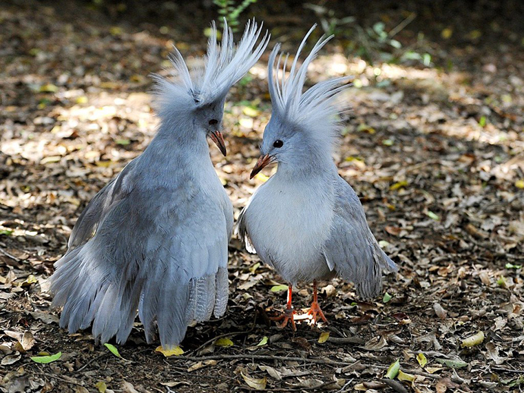 Top 10 Most Extraordinary & Endangered Birds Across the Globe The Kagu WorldBirder
