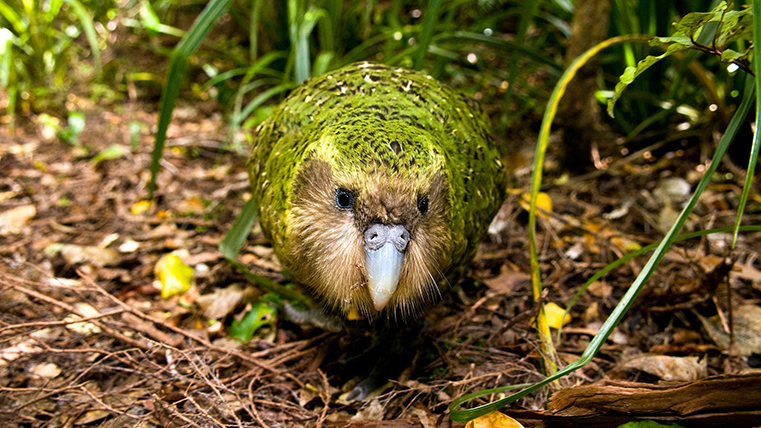 Top 10 Most Extraordinary & Endangered Birds Across the Globe The Kakapo WorldBirder